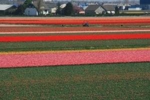 Tulpenfelder so weit das Auge reicht