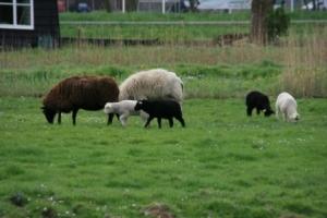 Schafe in Alkmaar