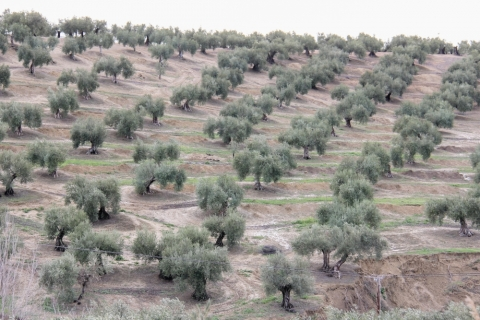 Olivenbaumplantage in Andalusien