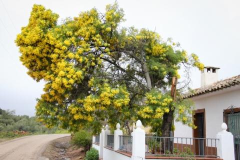 Prachtexemplar eines Mimosenbaums