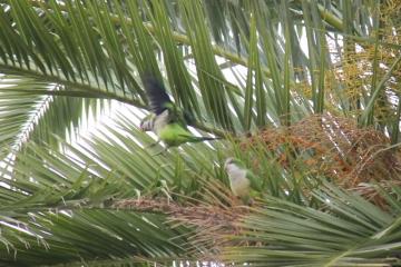 Papageien in Sevilla