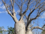 Boab - Flaschenbaum