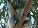 Koala / Yanchep NP