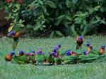 Rainbow Lorikeet Fütterung
