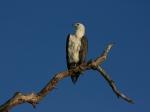 Seeadler am Yellow Water River / Kakadu NP