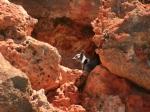 Black Foot Felsenkänguru / Cape Range NP