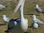 Pelikan / Kalbarri