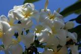 weiße Frangipani-Blüten