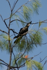 Red tailed Black Cacatoos