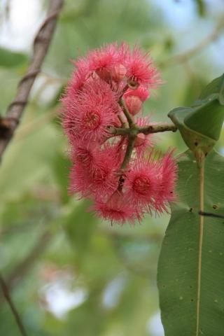 Eine rote Eukalypthus-Blüte
