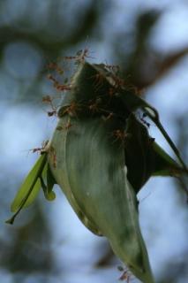 Grüne Ameisen