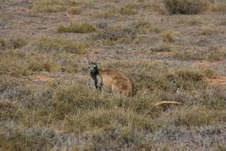 Wallaroo - kleine Kängurus