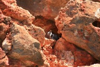 Schwarzfußfelsen-Känguru