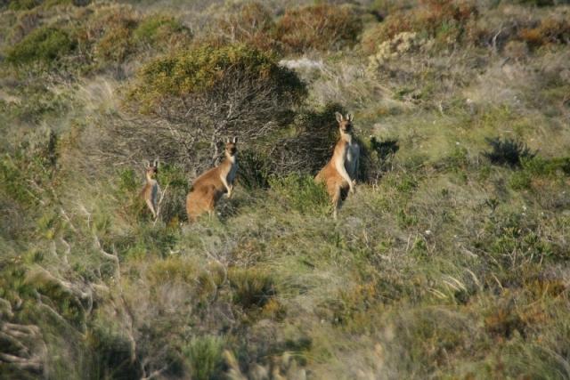 Und schon wieder eine Känguru Familie