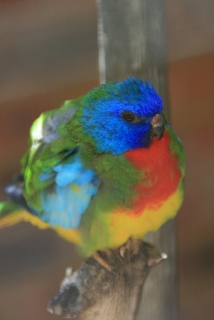 Papagei im Rainbow Jungle