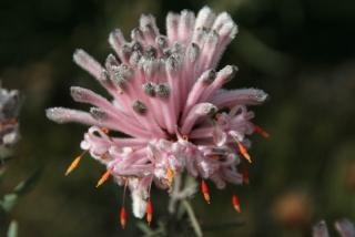 Flora in Australien