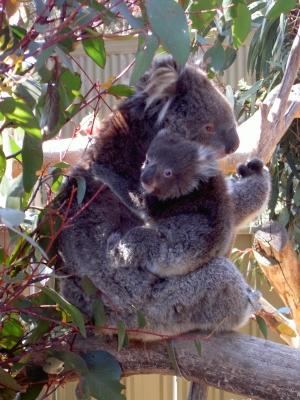 Koalamama mit Baby