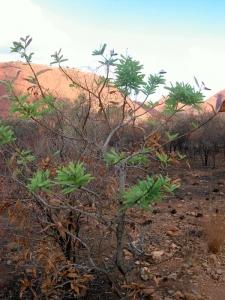 Grüner Busch in der Wüste