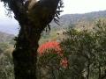 australischer Flammenbaum