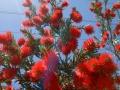 Flaschenputzerbaum – Bottle Brush