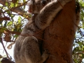 schlafender Koala am Baum