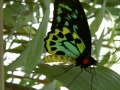 Schmetterling im Kuranda Butterfly Sanctuary