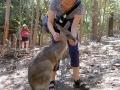 Känguruh im Streichelzoo