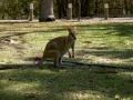 Freilebendes Wallaby