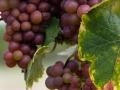 Weintrauben bei Kaysersberg