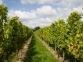 Weinfelder bei Kaysersberg