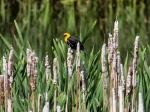 Yellow Headed Blackbird (auf deutsch: Gelbkopf-Schwarzstärling)