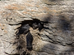 Rabennest in der Steilwand des Maligne Canyon
