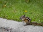 Streifenhörnchen am Parkplatz der Athabasca Falls