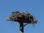 Ospray - Nest (Fischadler)