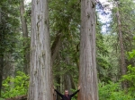 Giant Cedars Tree