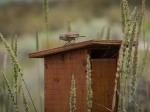 Nistkasten mit Wiesenstärling im Desert Center