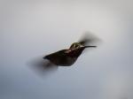 Hummingbird in Action