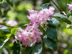 Rhododendron Flat