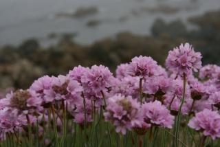 Grasnelken auf Lihou Island