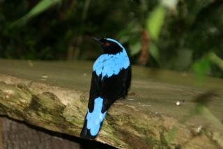 Asia Fairy Bluebird im Durrell Wildlife Park