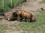 Süße Schweinchen in weiten Gehegen