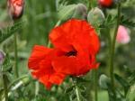 Poppy in den Gärten der  Seigneurie