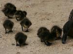 Die Enten bei Sausmarez Manor