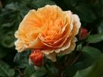 Rose im Samarès Garden