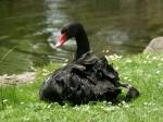 Schwarzer Schwan im Samarès Garden
