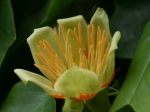 Blüte eines Tulpenbaums