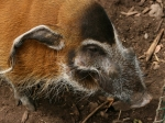 Eine wilde Sau im Durrell Wildlife Park
