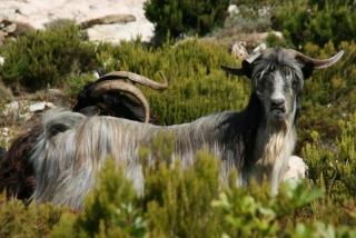 Korsische Ziegen