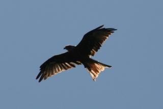 Raubvögel wohin man schaut