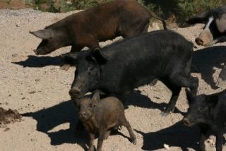 Halbwildschweinhorde am Col de Sevi